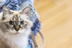 Beauty domestic cat at home, siberian breed. Cute white neva mascquerade cat of siberian breed indoor, long haired and blue eyes royalty free stock images