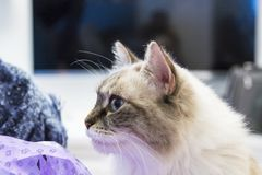 Beauty domestic cat at home, siberian breed. Cute white neva mascquerade cat of siberian breed indoor, long haired and blue eyes royalty free stock photo