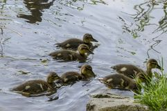 Beauty downy mallard ducklings swimming in the lake, South park. Sofia, Bulgaria Royalty Free Stock Photos