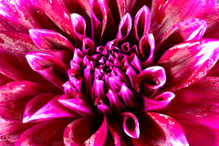 Beauty exotic flowers of dahlia Stock Photos