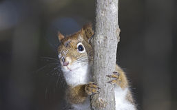 Beauty face. Face of squirrel on a branch in nature Stock Photos