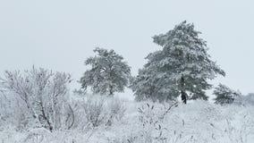 Beauty fir in snow tree wild winter forest Christmas snowing. Beauty  fir in snow tree wild winter forest Christmas snowing stock video