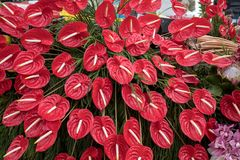 Beauty floristic decoration with a large red anthurium tropical flower. Beauty floristic decoration with a large red anthurium tropical flower royalty free stock photos