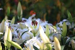 Beauty Flower in ChiangRai Flower Garden 2014 Stock Photography