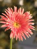 Beauty flower. The flower is facing towards sun and getting more beautiful Stock Image