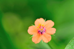 Beauty flower Royalty Free Stock Images