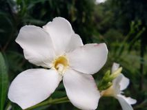 Beauty of flower. A white flower, showing its Beauty in its  surrounding Royalty Free Stock Photos