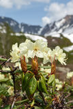 Beauty flowering Rhododendron Aureum on background of mountains Royalty Free Stock Photography