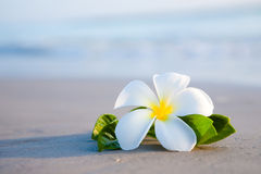 Beauty flowers on the beach Royalty Free Stock Images