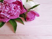 Beauty flowers blossom fresh peonies greeting nature on a pink wooden background, summer frame. Beautyflowers fresh peonies on a pink wooden background, summer stock images