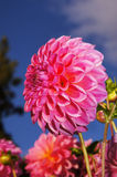 The beauty of flowers - purple dahlia. One of the most beautiful garden flowers closeup Stock Photography