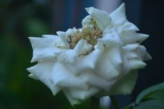 Beauty flowers white panorama evening royalty free stock photography