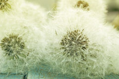 Beauty fluffy dandelion background. Close up view of beauty fluffy dandelion - soft and light background. Photo with vintage toning Stock Image