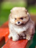 Beauty fluffy Pomeranian puppy Royalty Free Stock Images