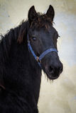 Beauty foal - friesian horse stallion Royalty Free Stock Photography