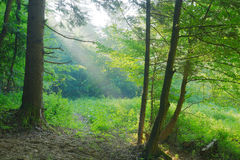 Beauty forest with sun rays. In the morning Stock Image
