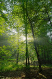 Beauty forest with sunrays. In the morning Royalty Free Stock Photos