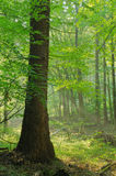 Beauty forest with sunrays. In the morning Royalty Free Stock Image