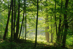 Beauty forest with sunrays. In the morning Stock Images