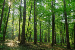 Beauty forest with sunrays. In the morning Stock Photos