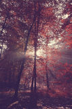 Beauty forest with sunrays in the morning Stock Images