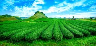 Beauty fresh green tea Stock Image