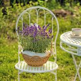 Beauty and fresh lavender in the flower pot. A beauty and fresh lavender in the flower pot stock photos