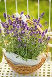 Beauty and fresh lavender in the flower pot. A beauty and fresh lavender in the flower pot royalty free stock photos