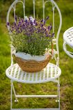 Beauty and fresh lavender in the flower pot. A beauty and fresh lavender in the flower pot royalty free stock photography