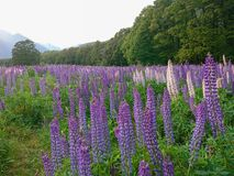 Beauty full bloom lupine flower, New Zealand. Natural landscape background royalty free stock photo