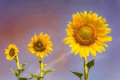 Beauty of full bloom sunflower stock photo