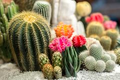The beauty Garden cactus Stock Images