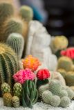 The beauty Garden cactus Royalty Free Stock Photography