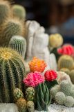 The beauty Garden cactus Stock Photos