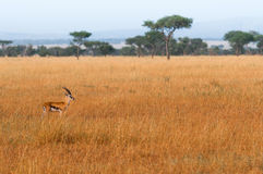 Beauty of Gazelle Stock Photo
