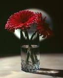 Beauty gerbera flower Stock Photography