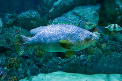 Beauty giant grouper fish stock photography