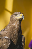 Beauty golden eagle, detail of head with large eyes, pointed bea Royalty Free Stock Images