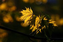 Beauty golden maple leaf at sunset. Golden maple leaf in the forest at sunset, dark forest in the background. This is my collection of leaves in spring and Stock Images