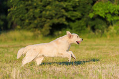 Free Beauty Golden Retriever Run At Training Royalty Free Stock Photo - 94010405