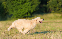 Free Beauty Golden Retriever Run At Training Royalty Free Stock Photos - 94010418