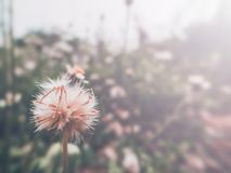 The beauty of the grass flower on the roadside. Beauty grass flower roadside background white light morning day spring vintage flowers tree beautiful flora royalty free stock photo