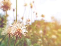 The beauty of the grass flower on the roadside. Beauty grass flower roadside light soft white sunlight background bokeh flowers natural nature bloom blooming royalty free stock images
