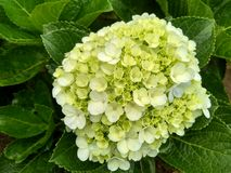 The beauty of green flowers. Some Flower buds Royalty Free Stock Images