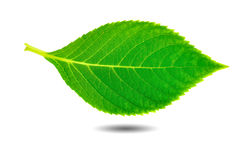 Beauty green leaf. Beautiful green leaf on white isolated royalty free stock photography