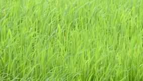 The beauty of the green rice That sway in the wind. stock video footage