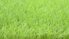 The beauty of the green rice That sway in the wind.  stock footage
