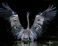 The Beauty of the Grey Heron royalty free stock image