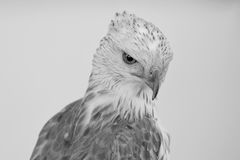 Beauty hawk ,Changeable Hawk Eagle Royalty Free Stock Image