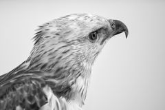 Beauty hawk ,Changeable Hawk Eagle Royalty Free Stock Photo